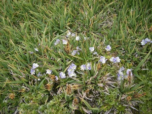 Violeta de Sierra Nevada