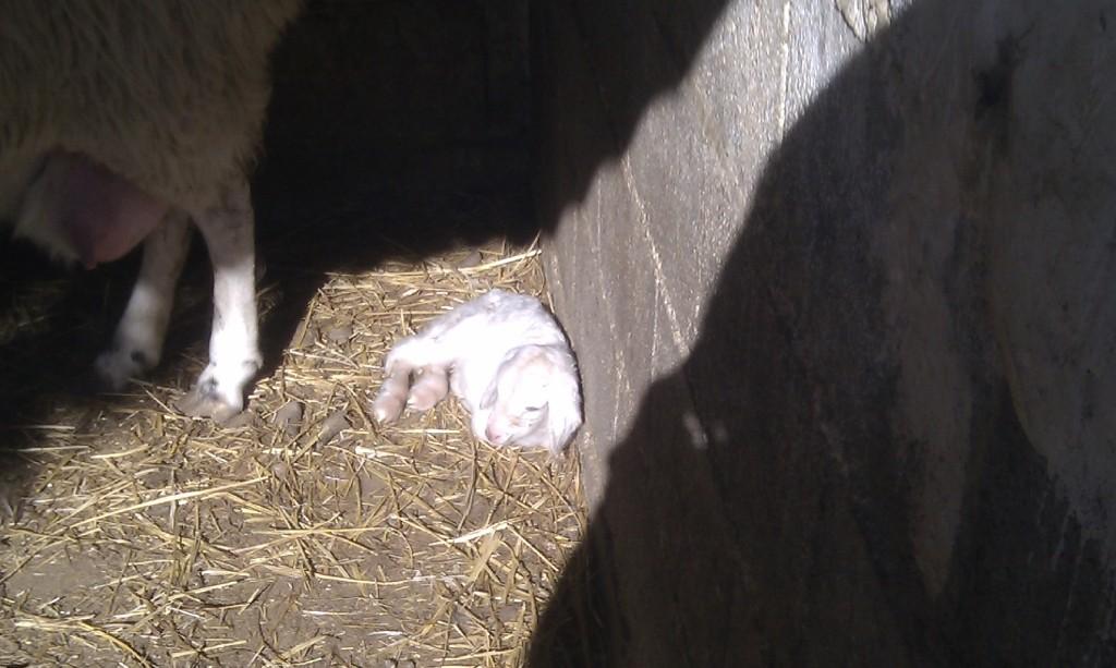 Cordero recién nacido